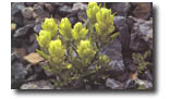 sulphur paint brush