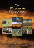 yellowstone wildlife image